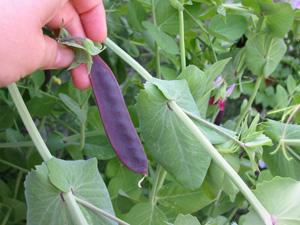 purplebeans.jpg